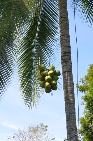 Got freah coconut water in Pavones CR